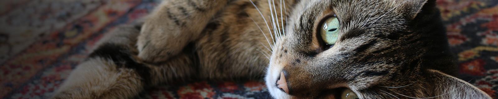 http://hvovet.com/hvo/wp-content/uploads/2016/09/veterinaire-chat-ormstown.jpg