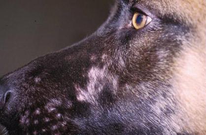 gale peau chien