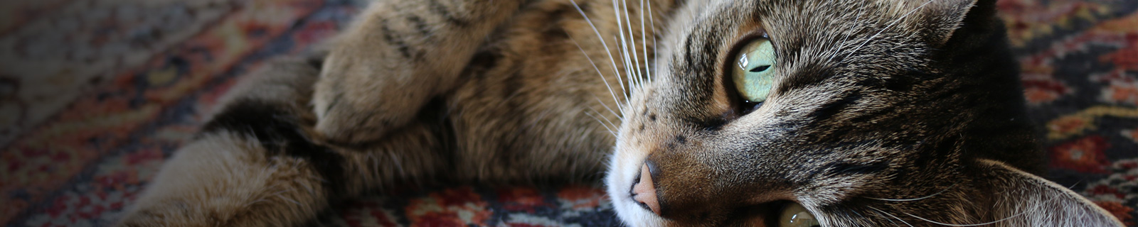 https://hvovet.com/hvo/wp-content/uploads/2016/09/veterinaire-chat-ormstown.jpg